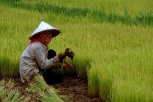 Rice_02