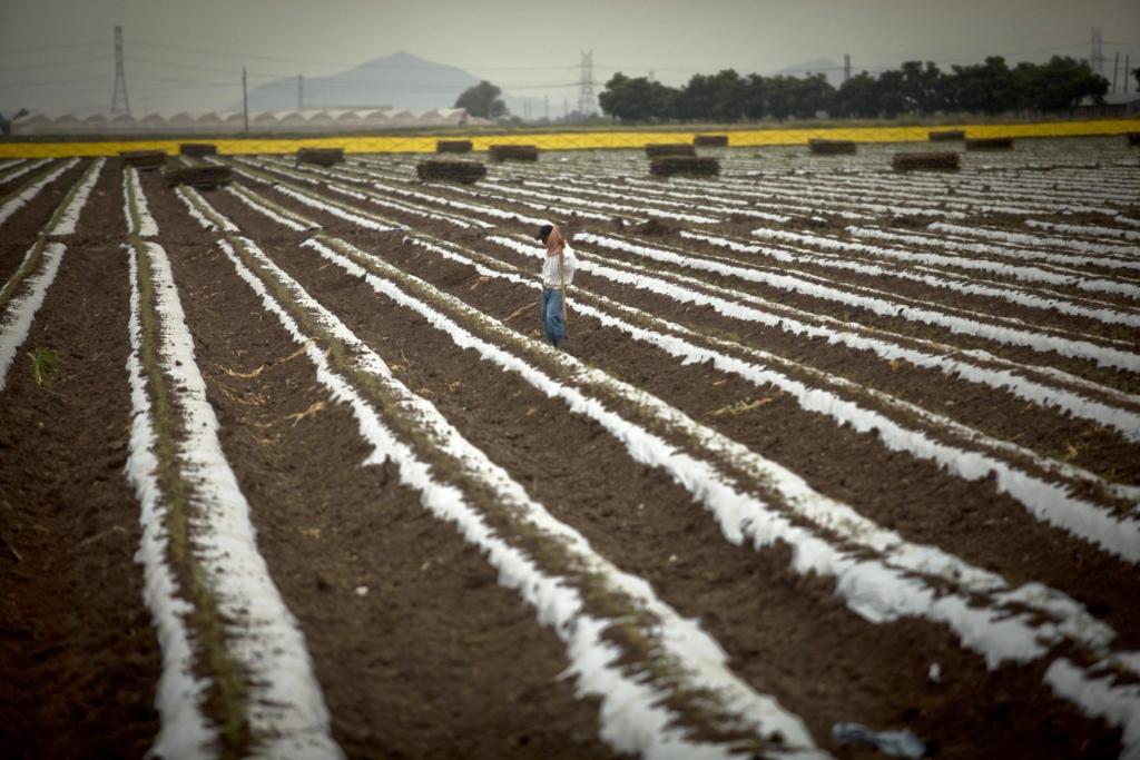 CULIACÁN,SINALOA 12OCTUBRE2013: Cientos de hectárias de maíz fueron pérdidas debido a los fenómenos meteorológicos de semanas anteriores, para otros tantos agricultores esto no afecto ya que apenas empieza el ciclo agrícola, por otra parte el Juzgado Federal Décimo Segundo de Distrito en Materia Civil, en el Distrito Federa, ordenó a la Sagarpa y Semarnat abstenerse de otorgar permisos de liberación al ambiente de maíz Genéticamente Modificado. FOTO: RASHIDE FRIAS /CUARTOSCURO.COM