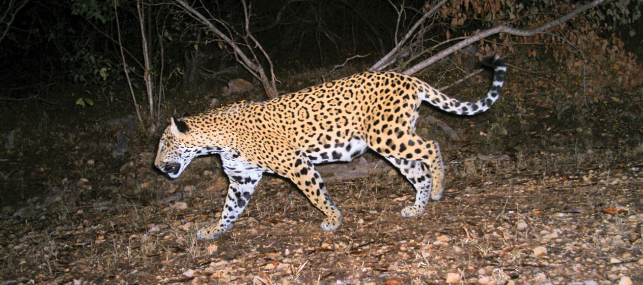 jaguar_destacada2