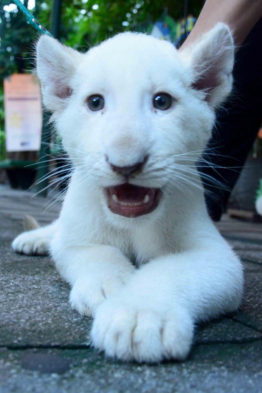 leones blancos (14)