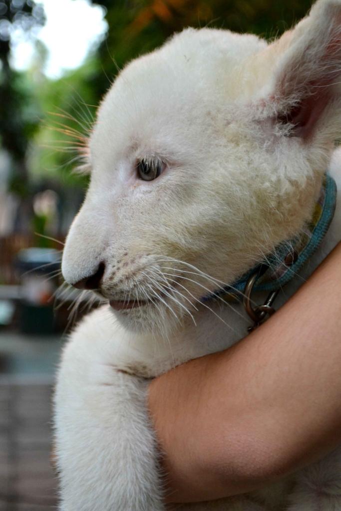 leones blancos (17)